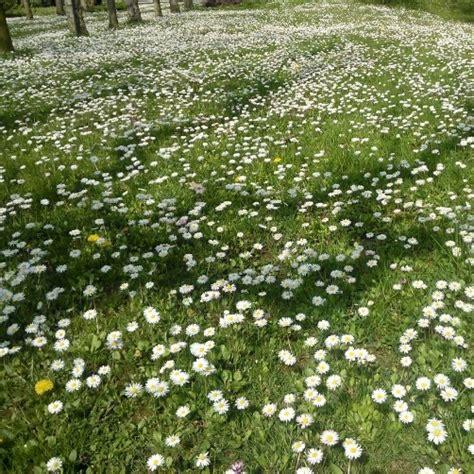 prato fiorito prato fiorito semente 100 gr vendita piante