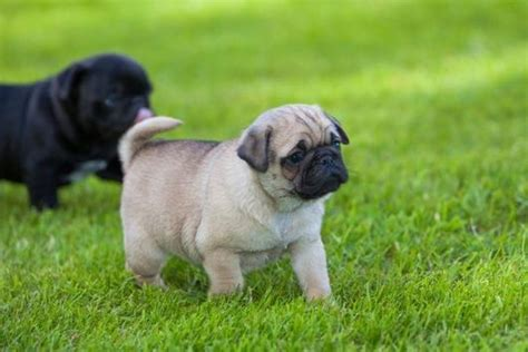 pug rescue dogs for adoption charming ckc reg pug puppies for adoption offer