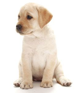are labs and golden retrievers the same 5 best breeds for the time owners loore