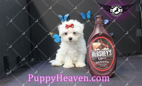 harry potter puppy teacup maltese puppies for sale in las vegas
