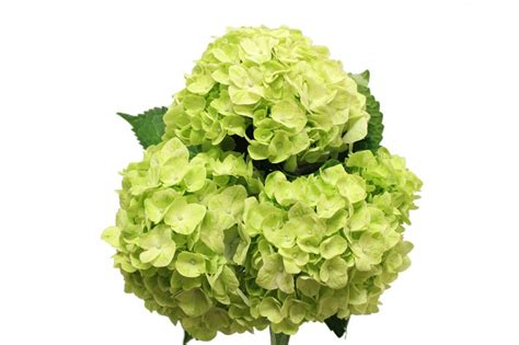 Hydrangea by Lime Green Hydrangea