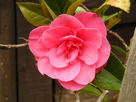 images flowers flower pictures page camellia
