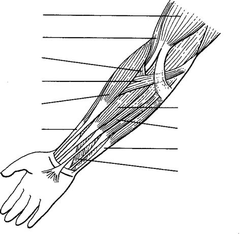 muscular system coloring pages az coloring pages