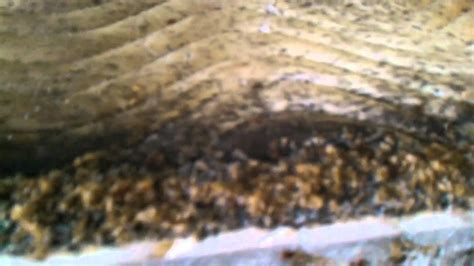 does one bed bug mean an infestation does one bed bug mean an infestation 28 images the