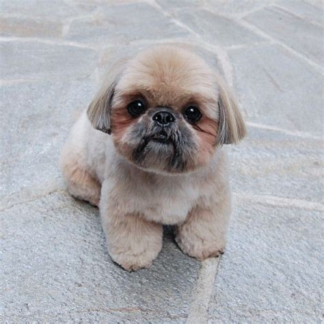 best comb for shih tzu 667 best grooming images on dogs grooming and grooming styles