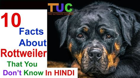 rottweiler facts in 10 rottweiler facts that you don t in dogs in the ultimate