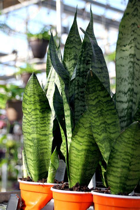 snake plant colasantis tropical gardenscolasantis