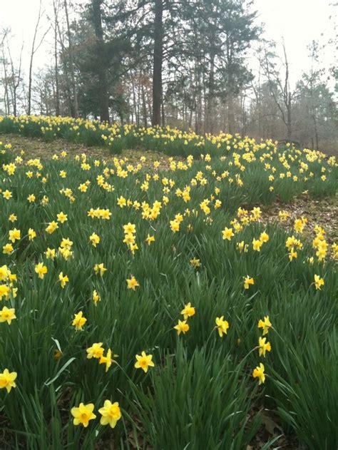 lee s daffodil garden near tyler tx spring garden pinterest gardens chang e 3 and places