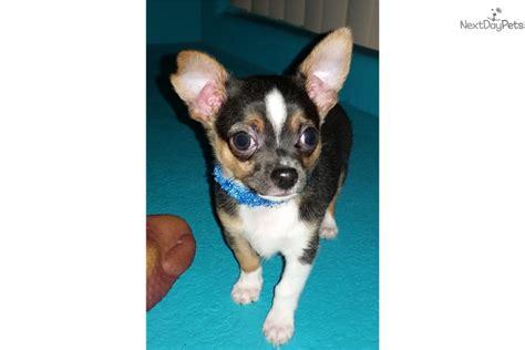 small puppies for sale in albuquerque chihuahua puppy for sale near albuquerque new mexico adfff30e 0c01