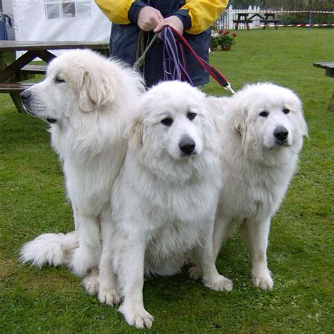 big white breeds large white fluffy breeds breed dogs spinningpetsyarn