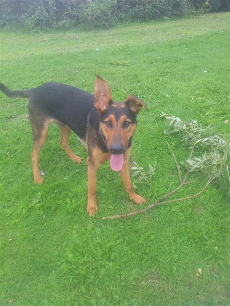 doberman shepherd puppies for sale doberman x german shepherd for sale buckley clwyd pets4homes