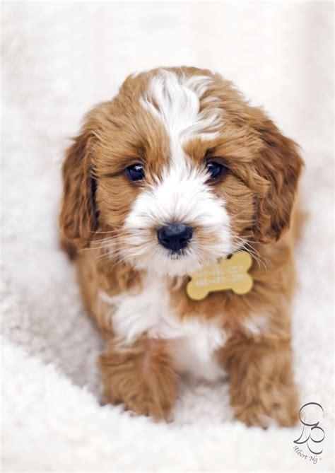 goldendoodle puppies seattle beyonce s 2014 mini australian goldendoodle puppies are 6 weeks today pups by