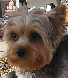 silky terrier hair cut silky terrier haircuts oodle marketplace on cross