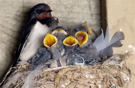 never mess with a swallow who thinks your home belongs to