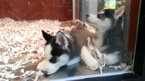 puppies store siberian husky puppies at pet store