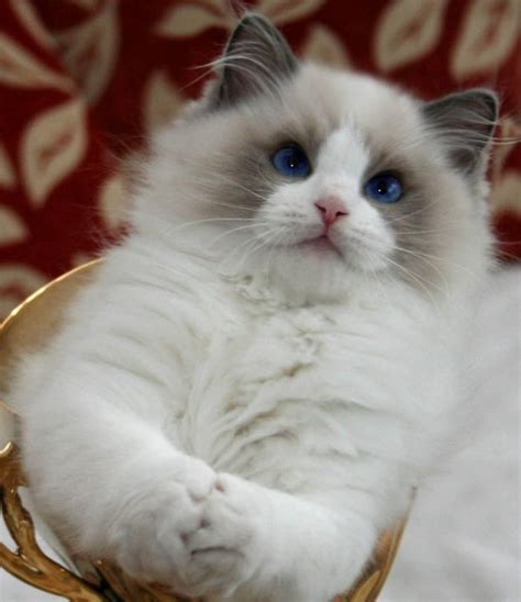 Ragdoll Cats Shedding by Temperament And Personality Of Ragdoll Many