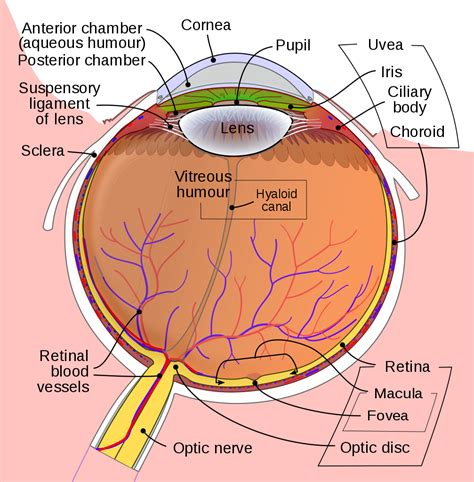 this diagram of the human cycle shows that file schematic diagram of the human eye en svg wikimedia
