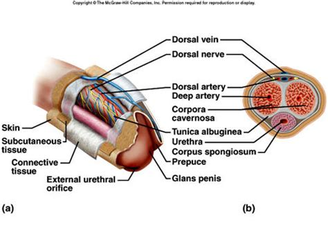 cross section of penis penile cross section reproductive system pinterest