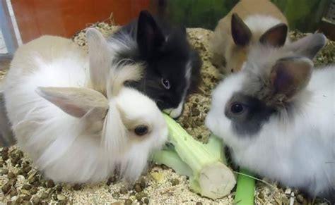 coniglio nano testa di coniglio nano testa di conigli nani