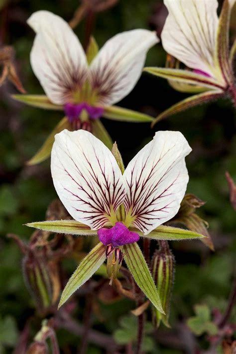 best scented geranium 17 best images about geranium pelargonium on watercolors scented geranium and