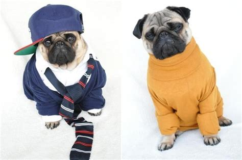 clothes for pugs uk pug dressed up in human clothes becomes sensation daily