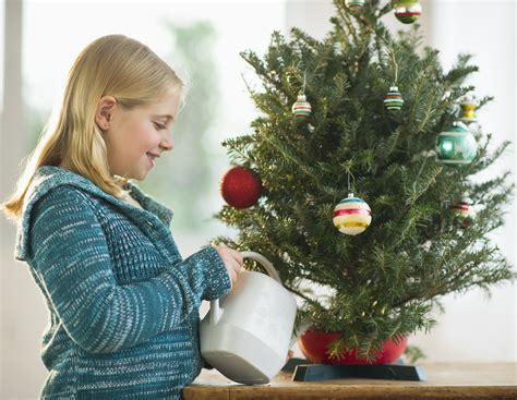 how do i water a christmas tree when away non toxic tree food