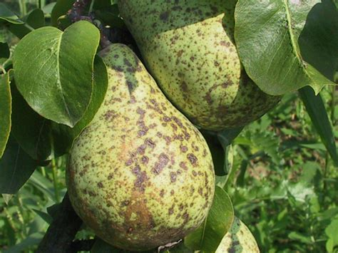 pear tree diseases pear tree the diseases in pear trees uhliste and garden