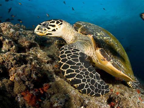 sea turtle live wallpaper free sea turtle maldives desktop wallpaper free