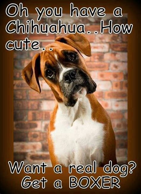 funny because i have a chihuahua and a boxer my boxer is