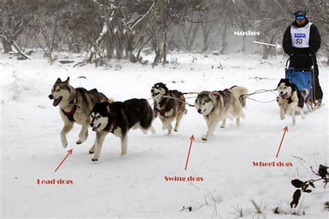 how to sled dogs husky glossary 16