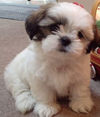 shih tzu and pomeranian mix for sale all about the pomeranian shih tzu mix dogable