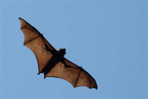 volpe volante malese il pipistrello gigante australiano cangurizzato