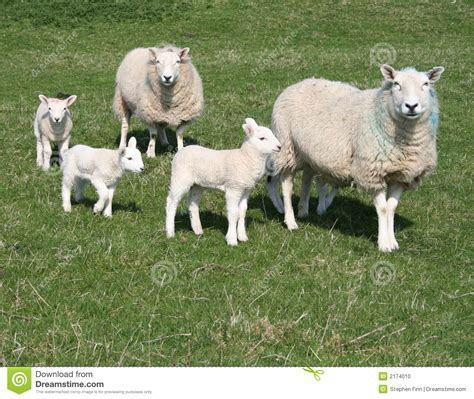 lambs and l lambs and sheep in field stock photo image 2174010