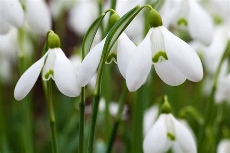 snow drop snowdrops free stock photo domain pictures