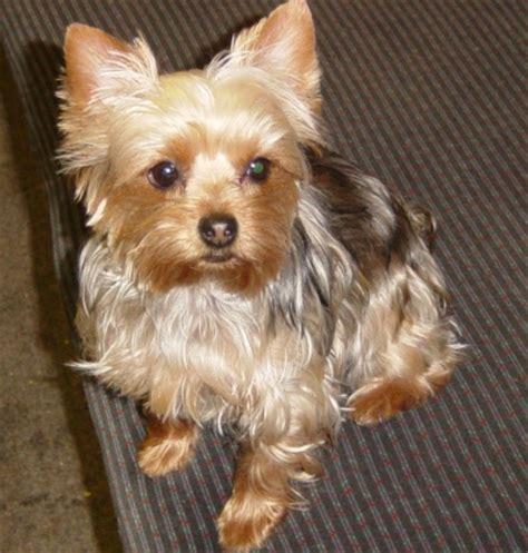 royal canin for yorkies m 244 jmil 225 čik sk royal canin terrier