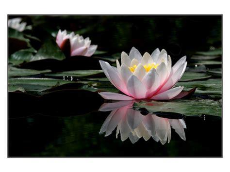falsafah bunga teratai coretan penuh makna