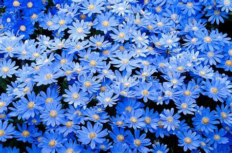 imagenes de flores de 400 x 150 quot blue daisies quot posters by oscar gutierrez redbubble