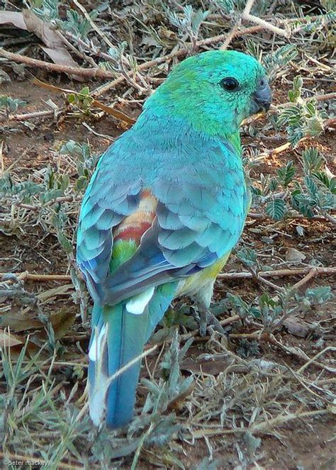 birds for sale san diego male red rump parakeet sweet and golf on