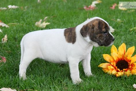 Nextdaypets Puppies For Sale Dogs For Sale From Trusted Html Autos Weblog