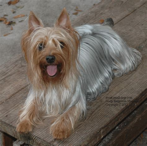 silver blue yorkie the silky terrier