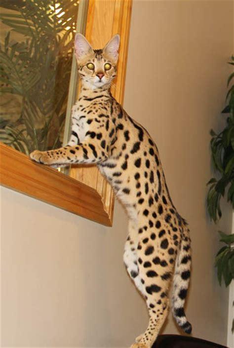 savannah cat  queens select exotics