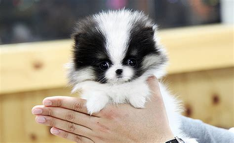 how much is a teacup pomeranian high quality tri coat teacup pomeranian puppy this teacup flickr photo
