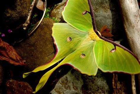 The Moth And The L Summary by Actias