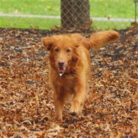 delaware golden retriever rescue available dogs dvgrr on golden retriever rescue delaware and dogs