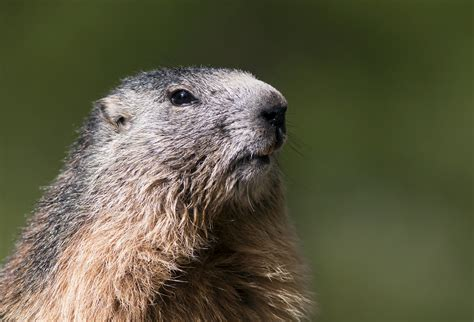 groundhog day 2015 poll groundhog day 2015 farmers almanac