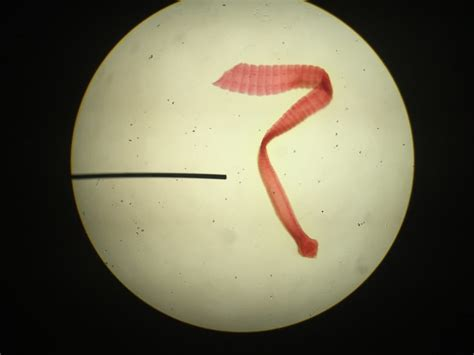 tapeworms  dogs great pet care