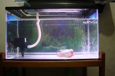 Lu Aquarium Dalam Air flowerhorn the hybrid cichlids cara mengukur banyaknya