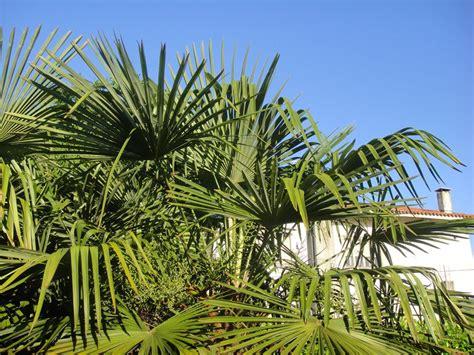palme in vaso trachycarpus fortunei palma giappone delle arecaceae