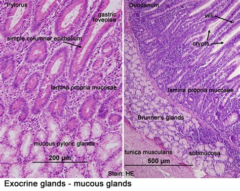 histological sections collection of histological sections