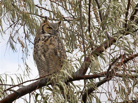 owl in backyard great horned owl backyard chickens